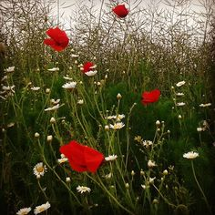 #love #wild #flowers #poppy #nature