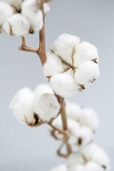 Le cotonnier est un arbuste originaire d'Inde. Les fruits du cotonnier s'appellent des capsules. Ces capsules, en s'ouvrant, laissent apparaitre de longs et soyeux filaments formant une boule qui contient les graines qui servent à la fabrication de l'huile...