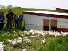 Lots of information about free range chickens