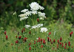 Queen Anne's Lace and Clover