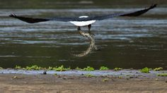 An image shot by a safari guide shows the powerful bird snatching up a juvenile Nile crocodile from the banks of a river in Tanzania.