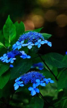 True blue lacecap hydrangea- inspiration to get out the aluminum sulphate. Amazing Flowers, Beautiful Flowers, Romantic Flowers, Beautiful Gorgeous, Hortensia Hydrangea, Hydrangeas, Blue Hydrangea, Hydrangea Macrophylla, Trees To Plant