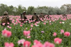 U.S. Marines with 1st Platoon, Company I, Battalion Landing Team 3/8, Regimental Combat Team 8, return to base through a poppy field after a security patrol from their patrol base in Helmand province's Green Zone, west of the Nahr-e Saraj canal, April 13. Elements of 26th Marine Expeditionary Unit deployed to Afghanistan to provide regional security in Helmand province in support of the International Security Assistance Force.