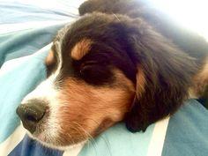 Burnese Mountain Dog pup.
