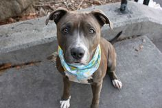 GOOSE - A1107391 - - Manhattan  TO BE DESTROYED 04/04/17 A volunteer writes: Goose was so sweet in her cage looking at me to see if I would be her friend. When I opened the door she walked to the other side of her double cage, but then she came back to check me out. I squatted down and talked gently to her. She came over and sniffed my ear and then gave me a lick on my cheek. As we walked out she was full of life, happy and easy going. She was a little wary when she saw ano