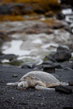 Sea Turtle Hawaii hawaiianexplorer.com