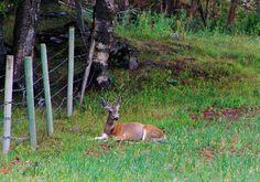 Mule Deer Near Skwaam Bay, Adams Lake, B.C. - September 2009