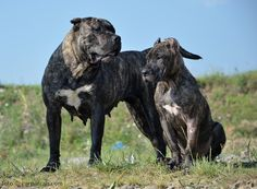 Female Presa canario, mother and daughter Katrina & Artiuca