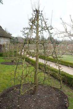 Quincunx pear tree