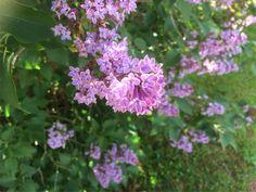 Fliederblüten lila Plants, Lilac, Florals, Photo Illustration, Plant, Planting, Planets