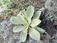 Φλόμος: φαρμακευτικές ιδιότητες Plants, Beauty, Plant, Beauty Illustration, Planets