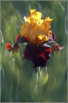 Another beautiful Tall Bearded Iris 'Supreme Sultan' with creamy-golden…