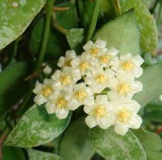Hoya lacunosa 'Sno Caps' Cutting SRQ 3120 [3120x] - $12.00 : Buy Hoya Plants Online in Many Species from SRQ Hoyas Today!