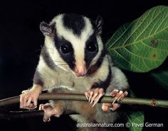 Tate's Triok (Dactylopsila tatei) - Also known as the Fergusson Island Striped Possum - This extremely rare species is only found on Fergusson Island, eastern Papua New Guinea. It is known only from mountain rainforests in the west of the island. Listed as Endangered by the IUCN. - © Pavel German / Wildlife Images