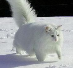 Norwegian Forest White Cat in Snow, what a looker!