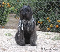 Bouvier Des Flandres with keen fashion choices
