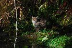 Bobcat in the Hoh  Photo by Jon Preston