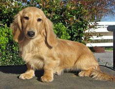 Cream colored longhair mini dachshund