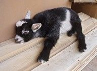 baby goat taking a snooze