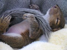 Baby squirrel sleeping.
