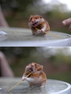 Hamster eating spaghetti... I'm still laughing