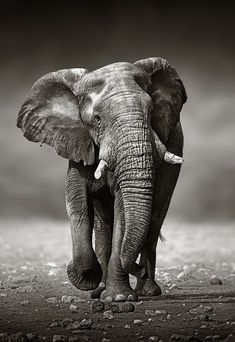 Shared by www.artstream.me Elephant approach from the front by Johan Swanepoel on 500px