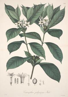 v. 2 - Florae Columbiae : - Biodiversity Heritage Library