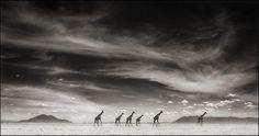 Giraffes Under Swirling Clouds, Amboseli 2007 by Nick Brandt