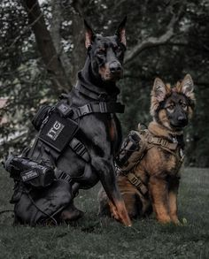 Criminals look out! These two tactical dogs dont mess around! - Criminals look out! These two tactical dogs dont mess around! Military Working Dogs, Military Dogs, Police Dogs, Doberman Pinscher Dog, Doberman Dogs, Blue Doberman, Gsd Dog, Dobermans, Shepherd Puppies