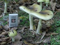 Grows near and under wood, primarily oak. Shaped like the top of a rocket with a narrow cap and long stem. Often has a greenish tint to its white flesh. Has a metallic sheen. Image by Stanisław Skowron Poisonous Mushrooms, Edible Mushrooms, Wild Mushrooms, Stuffed Mushrooms, Amanita Phalloides, Can I Eat, Fun Hobbies, Garden Sculpture, Canning