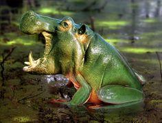 Nueva especie Rana-Hipopótamo.