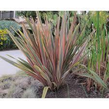 Phormium - heinää voi kesällä pitää meillä ulkona. Talveksi siirretään sisälle. Sopii terassille!