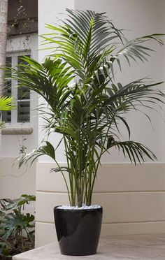 Kentia Palm is an elegant plant that eagerly thrives indoors yet grows relatively slowly so it can be enjoyed for many years in your home or on a summer patio.