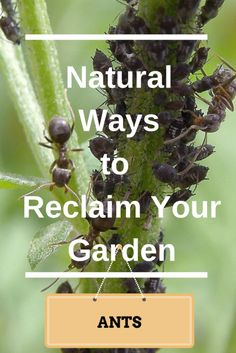 Natural Ways to Get Rid of Ants in Your Vegetable Garden.  There are several ideas here and most are reasonable and effective.