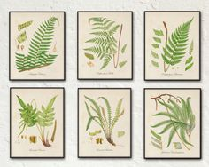BRITISH FERNS SERIES 2 - SET OF 6 GICLEE CANVAS BOTANICAL PRINTS These beautiful fern illustrations have been adapted from an antique British natural history text. The images have been restored and ad