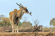 Eland with Red-billed Oxpecker | Flickr - Photo Sharing!
