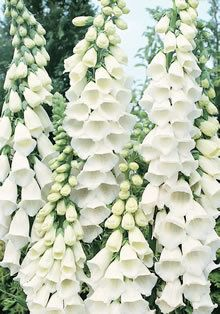 ~Digitalis Foxglove - Snow Thimble --The first truly pure white foxglove