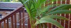 A kókuszpálma (Cocus nucifera) jellemzése és gondozása Anna, Plants, Plant, Planets