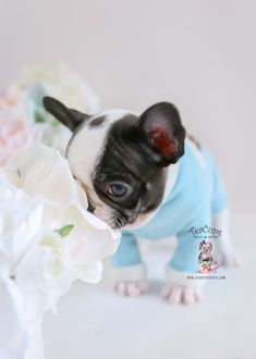 8873f4df2774 Pied French Bulldog Puppy by TeaCupsPuppies.com  frenchbulldog  frenchie   frenchieworld  puppy
