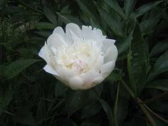 Peonies: How to Plant, Grow, and Care for Peony Plants. We have pink peonies on the south and east side of our house.