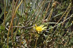 Haplopappus integerrimus (Hook. & Arn.) H.M. Hall var. integerrimus