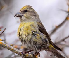 Crossbill | by Walk in the Woods Photography