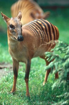 The zebra duiker is a small antelope found in Ivory Coast, Guinea, Sierra Leone and Liberia. It has also been recently discovered in south east Guinea.
