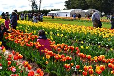 Details about Tasselaar Tulip Festival and KaBloom Festival in Silvan. Find details like history, location, dates and how to reach there Daffodils, Tulips, Melbourne Attractions, Tulip Festival, Melbourne Cbd, Gladiolus, Flower Farm, Roman Catholic, Petunias