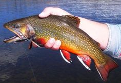 Big brook trout, deff wanna catch these someday