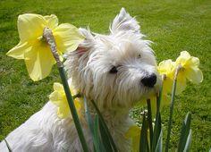 Westie Daffodils
