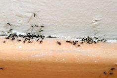 9 astuces naturelles contre l'invasion de fourmis