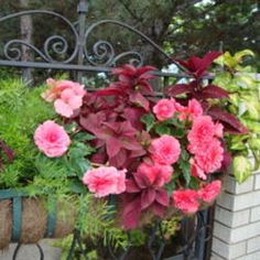 tuberous begonias, asparagus fern and red coleus; good shade planting