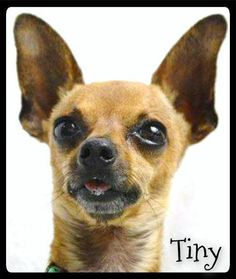 Meet Tiny a Petfinder adoptable Chihuahua Dog | Simi Valley, CA | ALWAYS check our WEBSITE DIRECTLY to see if this dog or puppy is still available.