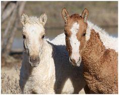 American Bashkir Curly Foals at Stag Creek Farm